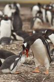 喂养小鸡-福克兰群岛的Gentoo企鹅 库存图片