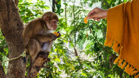 喂养小猴子 库存照片