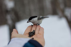 喂养从手的人一只鸟 库存照片
