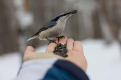喂养从手的人一只鸟 库存图片