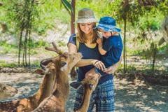 喂养从手的母亲和儿子美丽的鹿在一个热带动物园里 库存图片