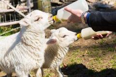 喂养从瓶的年轻妇女两只新出生的羊羔 免版税库存图片