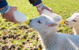 喂养从瓶的年轻妇女两只新出生的羊羔 库存照片