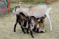 喂养他们的在农场的山羊孩子 图库摄影