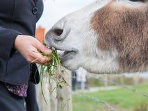 喂养驴的妇女 免版税图库摄影