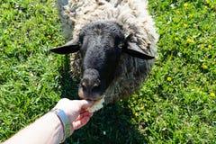 喂养绵羊用从手的面包 免版税库存图片