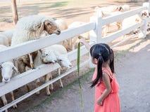 喂养绵羊的亚裔女孩 库存图片