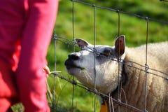 喂养绵羊的小女孩 免版税库存照片