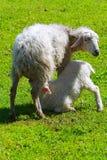 喂养羊羔的成人绵羊 免版税库存照片