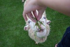 喂养绵羊 免版税库存图片