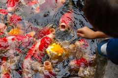 喂养花梢鲤鱼鱼的男孩 库存照片