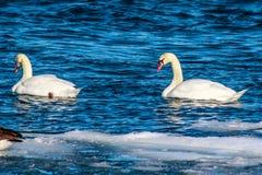 喇叭天鹅在冬天 库存图片
