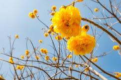 喇叭树开花与在背景的蓝天的Tabebuia 图库摄影