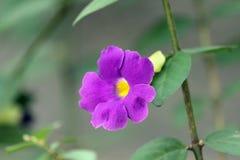 喇叭花'紫色天鹅绒'花 库存图片