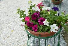 喇叭花在一个典雅的花瓶花盆开花在公园 免版税库存图片