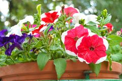 喇叭花在一个典雅的花瓶花盆开花在公园 库存图片