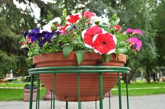 喇叭花在一个典雅的花瓶花盆开花在公园 免版税库存照片