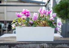 喇叭花在一个罐的喇叭花杂种美好的紫色木表面上 库存照片
