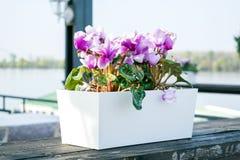喇叭花在一个罐的喇叭花杂种美好的紫色木表面上 免版税库存照片