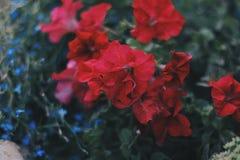 喇叭花在庭院里 库存图片