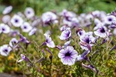 喇叭花开花在草甸的 图库摄影