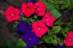 喇叭花是两种颜色 库存照片