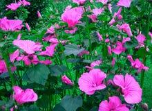 喇叭花是开花植物的35个种类类  库存图片