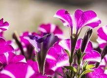 喇叭花是美丽的装饰国内花 库存图片