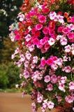 喇叭花粉红色 库存图片