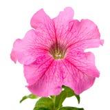 喇叭花粉红色 库存照片