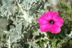 喇叭花紫色 库存照片