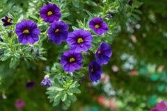 喇叭花花在庭院、自然背景或者墙纸里 免版税库存图片