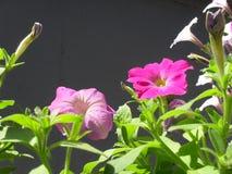 喇叭花花在庭院桃红色开花 库存照片