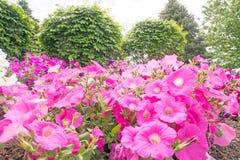 喇叭花花在庭院里 库存照片