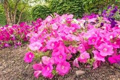 喇叭花花在庭院里 图库摄影