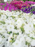 喇叭花花在庭院里 免版税图库摄影