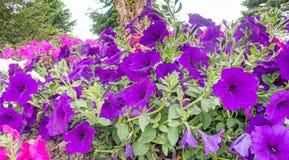 喇叭花花在庭院里 免版税库存照片