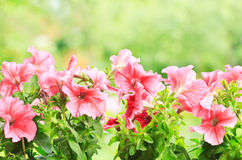 喇叭花花在庭院里 库存图片