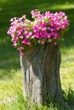 喇叭花花在树桩增长 图库摄影