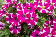 喇叭花花在花架 库存照片