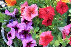 喇叭花花 在葡萄酒样式的花Garden.vector花卉背景 免版税库存图片