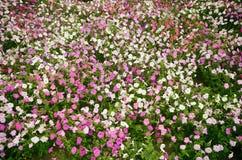 喇叭花,生长在一个大花圃在城市公园 免版税库存照片
