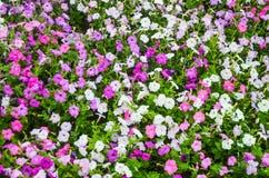 喇叭花,生长在一个大花圃在城市公园 库存图片