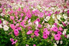 喇叭花,生长在一个大花圃在城市公园 免版税库存图片