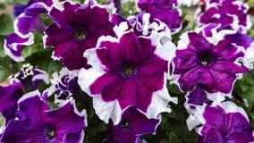 喇叭花,紫色花床  免版税库存照片