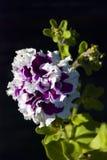 喇叭花-紫色竖趾旋转特写镜头 免版税库存照片