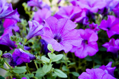 喇叭花紫色 图库摄影