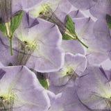 喇叭花 被按的干燥花无缝的样式纹理  免版税图库摄影
