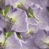 喇叭花 被按的干燥花无缝的样式纹理  库存图片