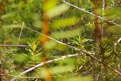 喇叭茶palustre植物 免版税图库摄影